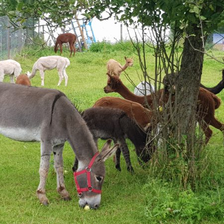 Alpaka-Esel-Erlebnis